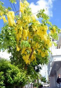 夏空に映える黄金色の花が通りに訪れた人たちの目を楽しませている=4日、平良の下里通り