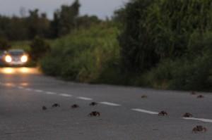 放卵のため海に向かって1周道路を横断するオカガニ