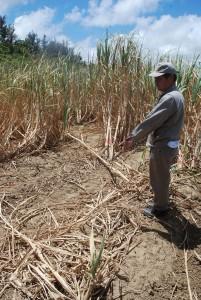 斧のような物で根元部分から刈り取られたキビ畑=2日、城辺