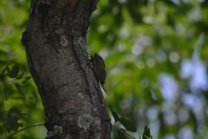 センダンの木に現れたクマゼミ=25日、伊良部