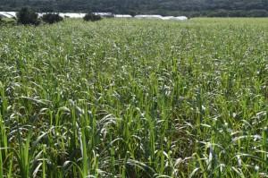 全体収穫面積の約6割を株出しが占めている19-20年産サトウキビ=25日、宮古島市平良